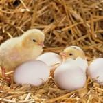 Làm sao để phòng ngừa và bỏ tật ăn trứng gà con cho gà mái