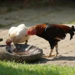 Tìm hiểu về dòng gà tre Nhật bản Chibi & Tosa Chibi