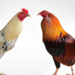 Bí quyết chọn gà mái để giống