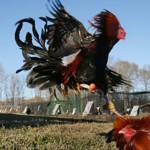 Cách phục hồi gà sau khi vần hoặc chinh chiến