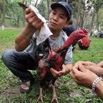 Hướng dẫn cách chọn và nuôi gà chọi tốt nhất