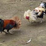 Chơi đá gà ăn tiền