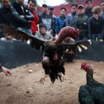 Chung tay chia sẻ những kiến thức về gà