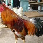 Chia sẻ cách tăng thể lực cho gà gấp đôi phần 2