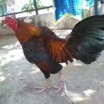 Cách chữa mốc cho gà chọi cực hiệu quả
