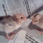 Hướng dẫn những kỹ thuật chăm sóc và nuôi dưỡng gà tre tốt nhất