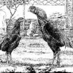Shamo giống gà mà bạn chưa từng biết một huyền thoại ẩn danh