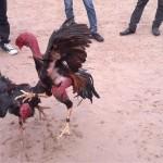 Cách tăng thể lực cho gà chọi tốt nhất
