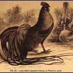 Giống gà phoenix bạn đã biết chưa ?