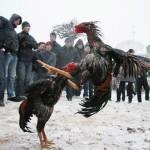 Chế độ nuôi gà chiến đẳng cấp nhất