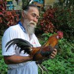 Chế độ dinh dưỡng cho gà đá và áp lực đối với gà chọi