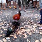 Các mánh khóe đá gà cực hay tại  Việt Nam