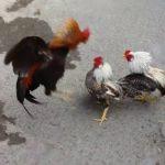 Cách lựa vảy gà hiếm và tài nghề gà nòi