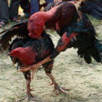 Cách chữa gà chọi bị lậu đề