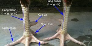 Cách xem chân gà đá