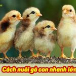 Cách nuôi gà con nhanh lớn như thổi cho người mới nuôi gà