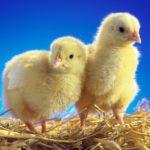 Cách chăm sóc gà mới nở khoẻ mạnh, mau lớn