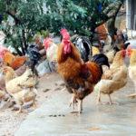 Cho gà ăn gì mau lớn? Mẹo nuôi gà của người xưa