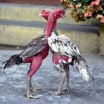 Vì sao gà chọi không chiu đá? Nguyên nhân và cách khắc phục