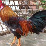 Cho gà ăn gì để lông mượt? Chỉ cách đơn giản áp dụng ngay