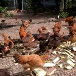Có nên cho gà ăn cây chuối? Sự thật về tác dụng của nó