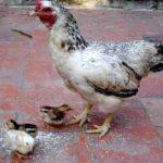 Tuổi thọ của gà: bất ngờ với những con gà sống thọ nhất