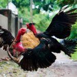 Cách làm cho gà sung khi đá chọi: anh em sư kê nhất định phải biết