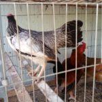 Những điều cần lưu ý khi nuôi gà trên sân thượng