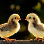 Cách chăm sóc gà con mới nở khỏe mạnh, mau lớn