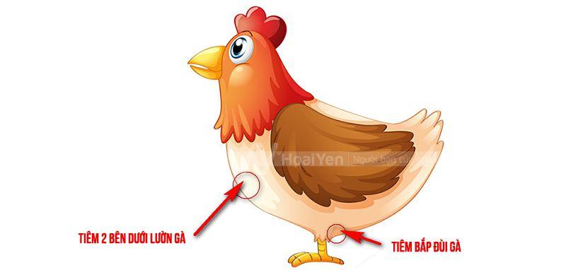 cách tiêm phòng cho gà
