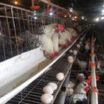 Kỹ thuật nuôi gà nhốt chuồng: Lớn nhanh, khỏe mạnh