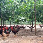 Cách nuôi gà thả vườn mau lớn, tiết kiệm chi phí, ít bệnh tật
