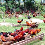Hướng dẫn kỹ thuật nuôi gà thả vườn khoa học và hiệu quả