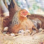 Chia sẻ cách nuôi gà tre mái đẻ hiệu quả nhất