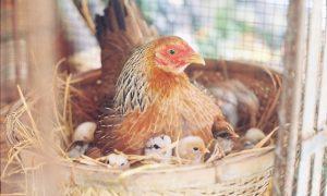 cách nuôi gà tre mái đẻ