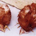 Những thông tin về bệnh newcastle ở gà