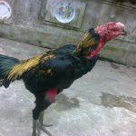 Cách trị lác khô cho gà chọi hiệu quả