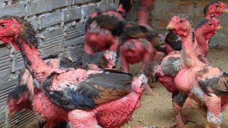 gà bị chướng diều đầy hơi