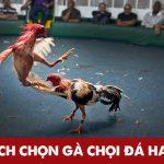 Chia sẻ cách chọn gà chọi hay cho các sư kê