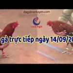 Xem đá gà Thomo trực tiếp mới nhất ngày thứ 7, 14/9/2019