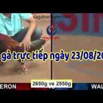 Video đá gà Thomo ( Campuchia casino 999), thứ 6 ngày 23/8/2019