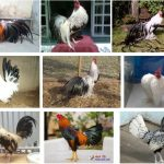 Các giống gà tre lai ở Việt Nam và đặc điểm của chúng