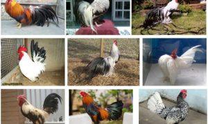 các giống gà tre