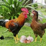 Cách phòng bệnh cho gà bằng tỏi từ dân gian