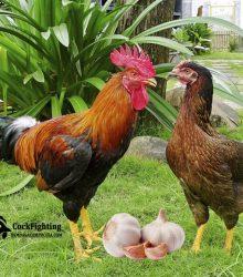 phòng bệnh cho gà bằng tỏi