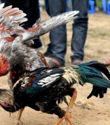 cách làm gà chọi máu chiến