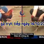 Coi đá gà  trực tiếp Campuchia Thomo 67 ngày 14/10/2019
