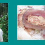 Nguyên nhân, triệu chứng và cách chưa bệnh E.coli ở gà
