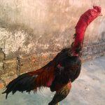 Gà biếng ăn, gà chọi không chịu ăn và cách chữa trị của sư kê kinh nghiệm
