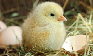 các bệnh thường gặp ở gà con